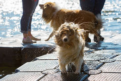 Wet dog shaking the head Stock Photography