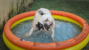 Wet dog shaking inside a colorful toy swimming pool Stock Images