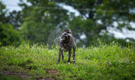 Wet Dog. Dog shaking in the middle of park Royalty Free Stock Photo