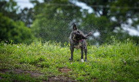Wet Dog. Shaking in the middle of park Royalty Free Stock Photos