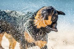 Wet dog shaking near water. Wet dog shaking water off coat and water droplets visible. Background of blue sea stock photography