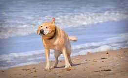 Wet dog shaking off water Stock Images
