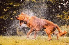 Wet dog shaking and splashing water drops all around. Beautiful wet Golden Retriever dog after on nature Stock Image