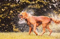 Wet dog shaking and splashing water drops all around. Beautiful wet Golden Retriever dog after on nature Stock Photo