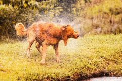 Wet dog shaking and splashing water drops all around. Beautiful wet Golden Retriever dog after on nature Royalty Free Stock Images