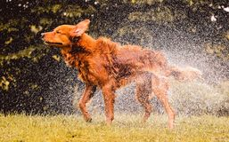 Wet dog shaking and splashing water drops all around. Beautiful wet Golden Retriever dog after on nature Royalty Free Stock Photo