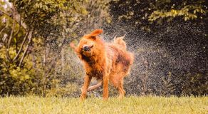 Wet dog shaking and splashing water drops all around. Beautiful wet Golden Retriever dog after on nature Royalty Free Stock Photos