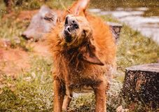 Wet dog shaking and splashing water drops all around. Beautiful wet Golden Retriever dog after on nature Stock Photography