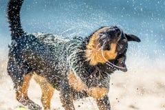 Wet dog shaking Stock Images