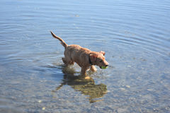 Wet Dog in Shallow Water with a Yellow Tennis Ball Royalty Free Stock Photos