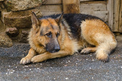 Wet dog. Soaked dog. Sorrowful german shepherd lying in the ground after the rain Royalty Free Stock Photography