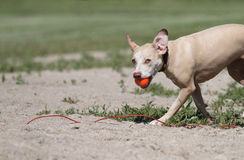 Wet dog splashing with orange ball and funny expression Royalty Free Stock Photography
