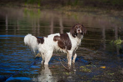A wet dog standing in a lake. And staring at the photographer Royalty Free Stock Photography