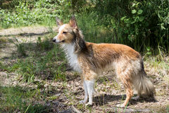 Wet dog stands in the woods. Wet shetland sheepdog (sheltie) stands in the woods after taking a swim in the lake Royalty Free Stock Image