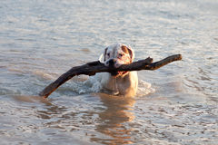 Wet dog with stick in his mouth Royalty Free Stock Photos