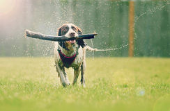 Wet dog. With stick running in sunset light with splashing water droplets Stock Image