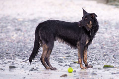 Wet dog surveys the beach Royalty Free Stock Images
