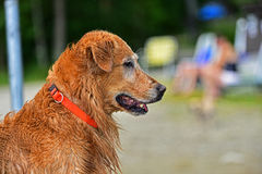 A wet dog taking a break after playing in the water HDR Royalty Free Stock Image