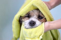 Dog wrapped in a towel, dog ind grooming royalty free stock photo
