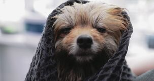 Wet dog in a towel. Spitz washing. Helping animals.