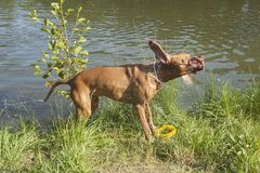 Wet dog Viszla shaking water off. Hungarian Pointer mix shaking off water after swimming in a pond. Hot summer day in rural pond Royalty Free Stock Photos