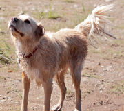 Wet Dog Wagging Royalty Free Stock Photo