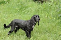 Wet Dog Walking stock photo