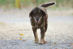 Wet dog walking and looking on owner at outside home. Wet dog walking and looking on owner at outside home Stock Photo