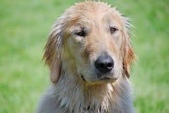Wet Dog. Yellow labrador retriever after a swim royalty free stock photos
