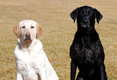 Wet Dogs. Wet yellow and black Labradors sitting in the sun Stock Photography