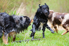 Wet dogs in action. Wet Australian Shepherd dogs in action Royalty Free Stock Photography