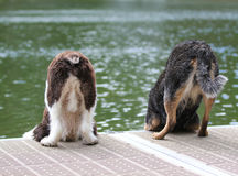 Wet dogs looking over edge of dock Royalty Free Stock Images