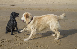 Wet dogs playing on beach Royalty Free Stock Image