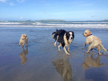 Wet dogs running around having fun on a beach Royalty Free Stock Image