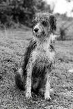 Wet domestic dog. Full body view of a abandoned domestic dog with his fur wet Stock Images