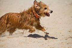 Wet domestic dog running Royalty Free Stock Image
