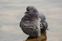 Wet dove Royalty Free Stock Image