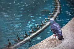 Wet dove resting. Next to an artesian well on a rainy day Stock Photos