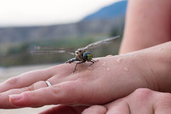 Wet Dragon Fly Stock Images