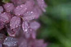 Wet drop on purple leaf Royalty Free Stock Photos