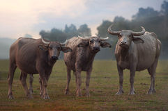 Wet and Dry Buffalo herd family. The dominance male run from muddy pot to protect the other from being shot by photographer. Just nice capture of wet and dry Stock Photography