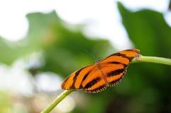 Wet Dryadula Phaetusa Butterfly Royalty Free Stock Photos