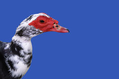 Wet Duck on Blue. Black and white duck with wet feathers on blue background royalty free stock image