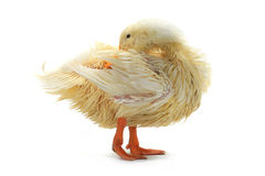 Wet duck Royalty Free Stock Images