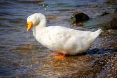Wet Duck. A wet duck shaking off the water Royalty Free Stock Image