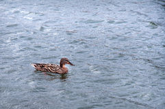 Wet duck swims in the water.  Stock Image