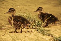 Wet duckies Royalty Free Stock Images