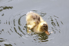 Wet duckling Royalty Free Stock Photography