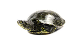 Wet-eared turtle Royalty Free Stock Images
