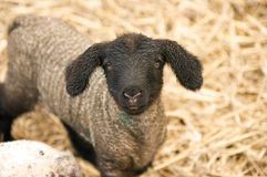 Wet about the ears. One day old lamb watching the camera Stock Images
